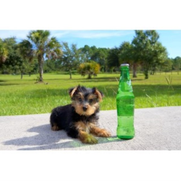 Ben - AKC Yorkshire Terrier Male Pup