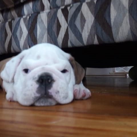 English Bulldog Puppy Dog For Sale In Providence Rhode Island