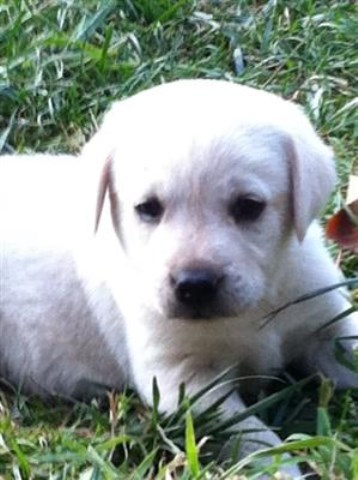 Labrador Retriever puppy for sale + 51181