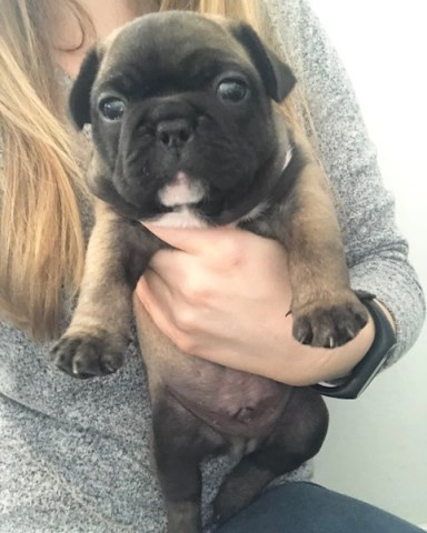 French Bulldog puppy for sale + 51341