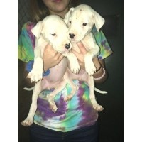 Dogo Argentino Dogs and Puppies for Adoption