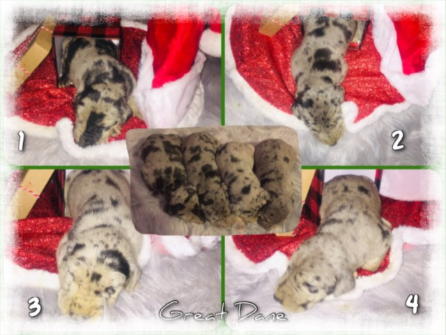 Great Dane puppy for sale + 59634