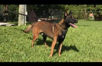 AKC Belgian Malinois Puppies For Sale Perle De Tourbiere Lines Malinois for sale/adoption