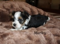 "CKC German Biewer Yorkshire Terrier Male ""Marley"" Ready Dec. 11/ 2016 Yorkshire Terrier for sale/adoption"