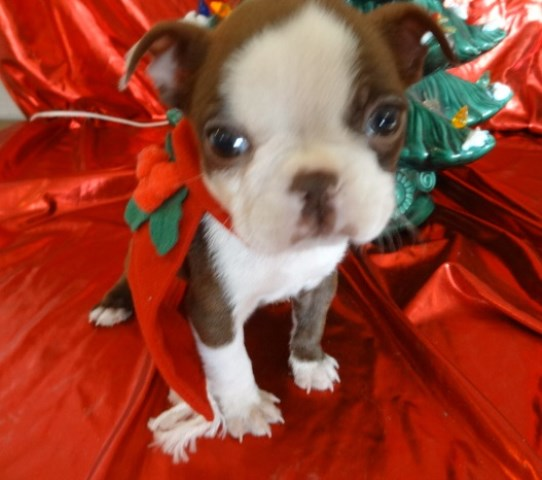 Boston Terrier Puppy Dog For Sale In Charles City Iowa