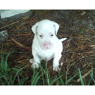 American Pitbull Terrier Puppies