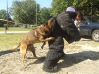 Belgian Malinois Puppies  (Best Bloodlines in the Nation) Malinois for sale/adoption