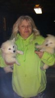 American Eskimo Dog Dogs and Puppies for Adoption