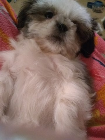 Shih Tzu Puppy Female Pixie