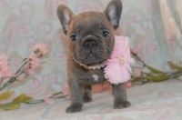 Thor is the largest handsome flashy pup in the litter French Bulldog for sale/adoption