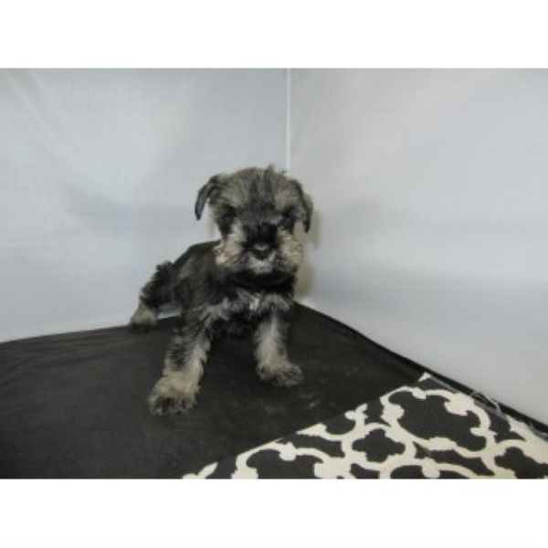 Mini Schnauzer-male-rover