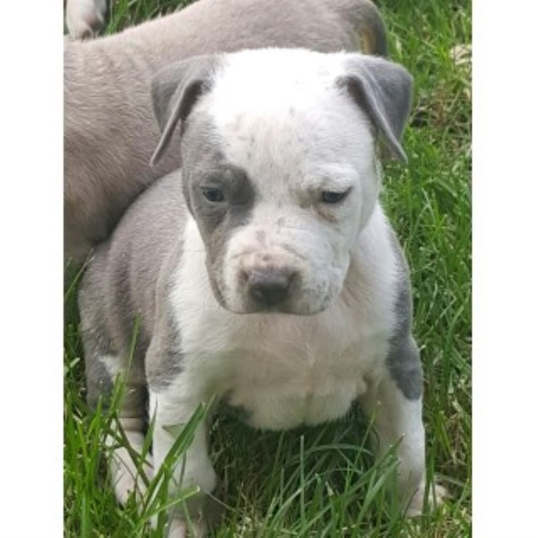Purple Ribbon Ukc Registered Pitbulls