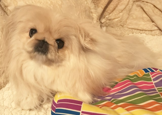 Pekingese puppy dog for sale in Tulsa, Oklahoma