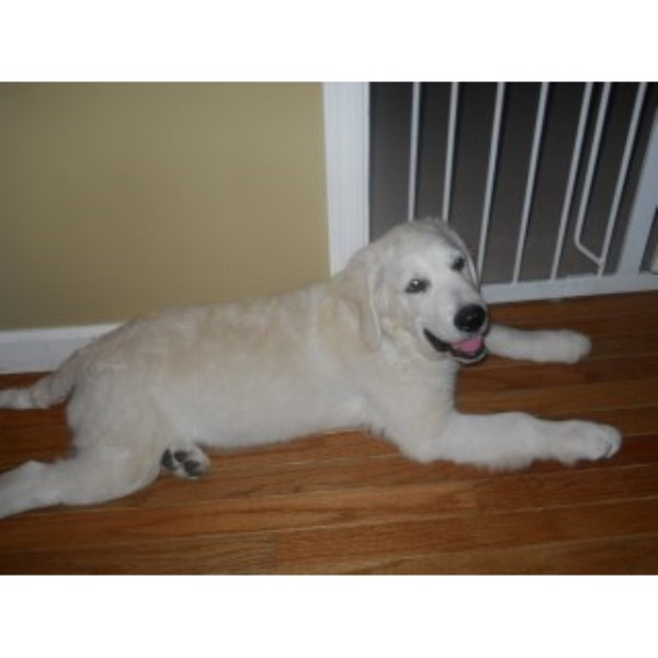 English Golden Retriever Golden Retriever for sale/adoption