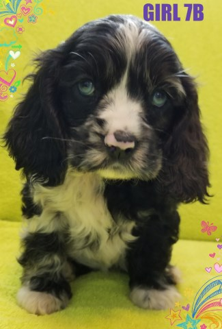 American Cocker Spaniel puppy for sale + 53302