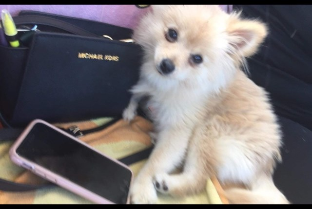 Pomeranian puppy for sale + 54610