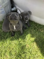 Gdfwe Well trained male and female Staffordshire Bull Terrier puppies Staffordshire Bull Terrier for sale/adoption