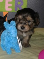 Adorable Male Yorkie Yorkshire Terrier for sale/adoption