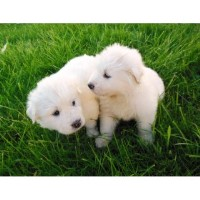 Great Pyrenees Puppies For Sale Great Pyrenees for sale/adoption