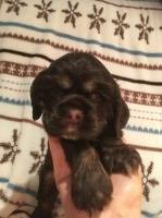 Adorable AKC Champion sired  male American Cocker Spaniel for sale/adoption