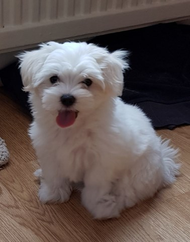 Maltese puppy for sale + 54073