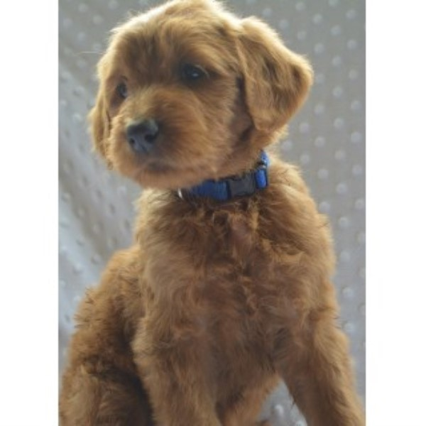 Goldendoodles - F1 And F1b's Goldendoodle for sale/adoption