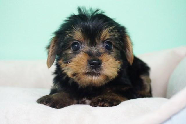 Yorkshire Terrier Puppy Dog For Sale In La Mirada California