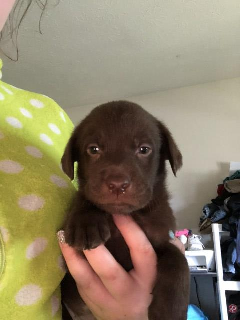 Labrador Retriever Puppy Dog For Sale In North Ridgeville Ohio
