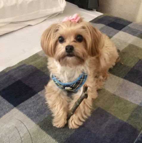 Morkie Puppy Dog For Sale In Lexington Kentucky