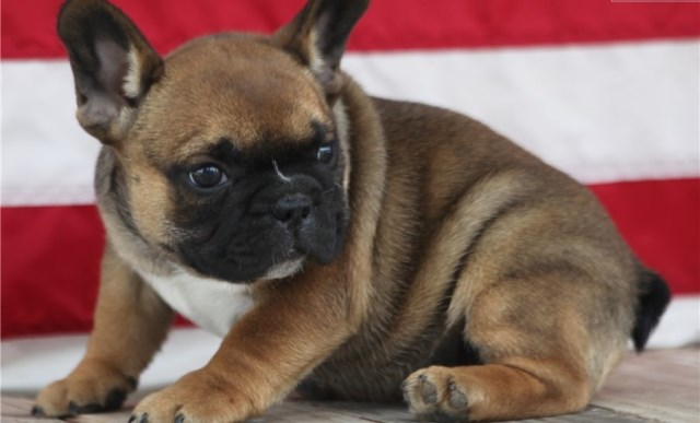 French Bulldog Puppy Dog For Sale In Portland Oregon