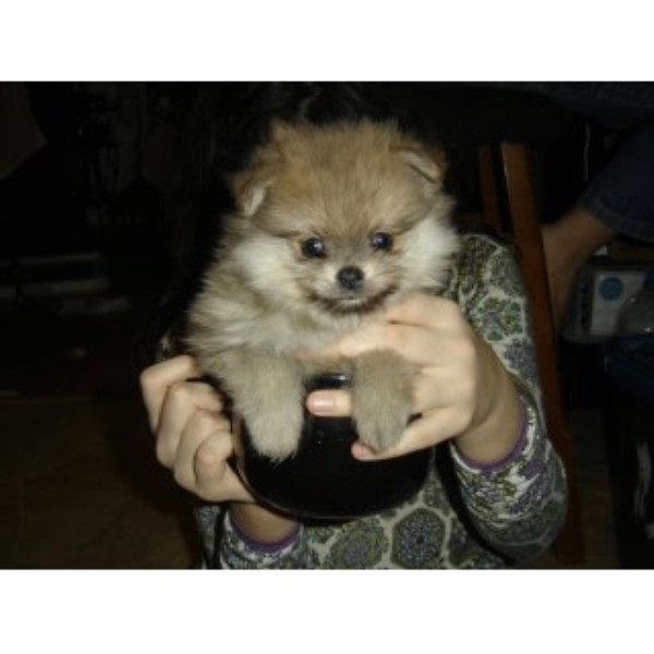 Adorable Tiny Pomeranian Puppies For Sale