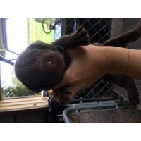 AKC Chocolate Lab Puppies (silver Factored) Labrador Retriever for sale/adoption