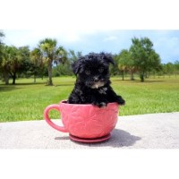 Shadow - AKC Morkie Male Pup Morkie for sale/adoption