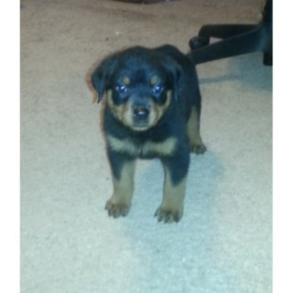 Rottweiler Puppies For Sale - $450