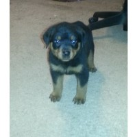 Rottweiler Puppies For Sale - $450 Rottweiler for sale/adoption