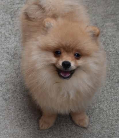 Golden creamy Pomeranian boy