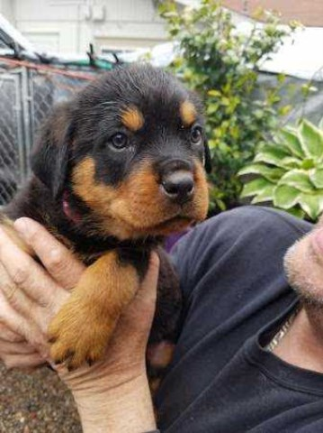 Rottweiler Puppy Dog For Sale In Medford Oregon