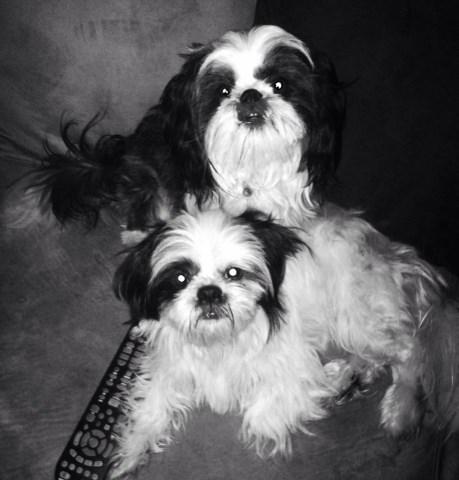 Shih Tzu puppy dog for sale in Winston Salem, North Carolina