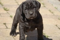 black female cane corso pup Cane Corso for sale/adoption