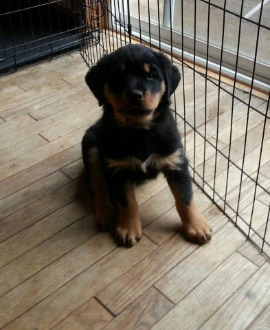 Rottweiler puppy for sale + 49069