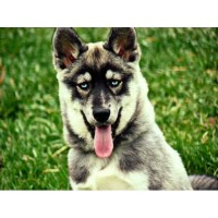 Upcoming Agouti, Wolf Gray, Sable, Dirty Faced And Too Working Lines Siberian Husky for sale/adoption