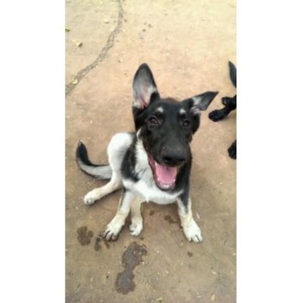 German Shepherd Dog Puppy Dog For Sale In Abilene Texas