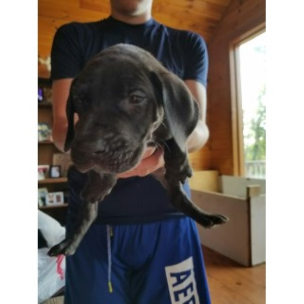 AKC Great Dane Puppies Great Dane for sale/adoption