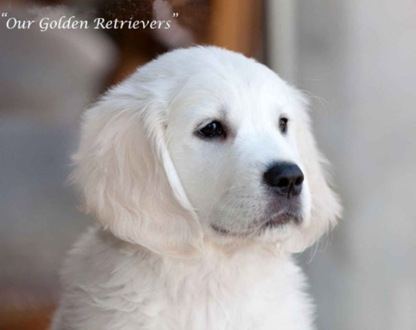 Golden Retriever puppy for sale + 58260