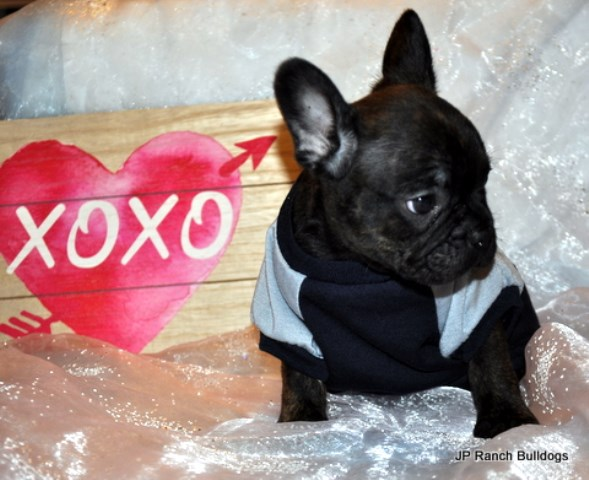 French Bulldog puppy for sale + 54997