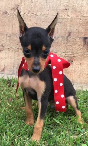 Miniature Pinscher Puppy Dog For Sale In Chelsea Oklahoma