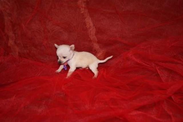 Chihuahua puppy dog for sale in phoenix, Arizona