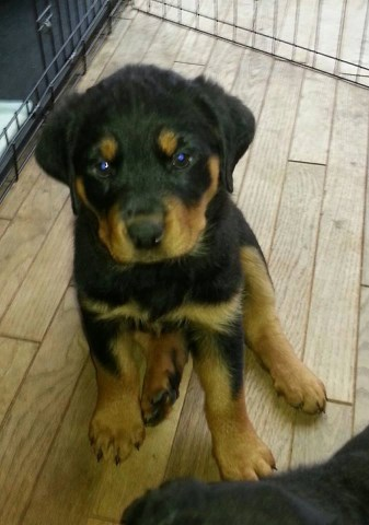 Rottweiler Puppy Dog For Sale In Oneonta New York
