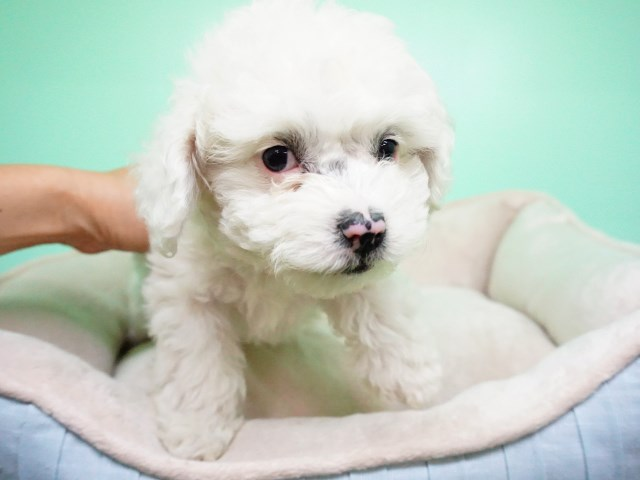 Maltipoo puppy for sale + 54458