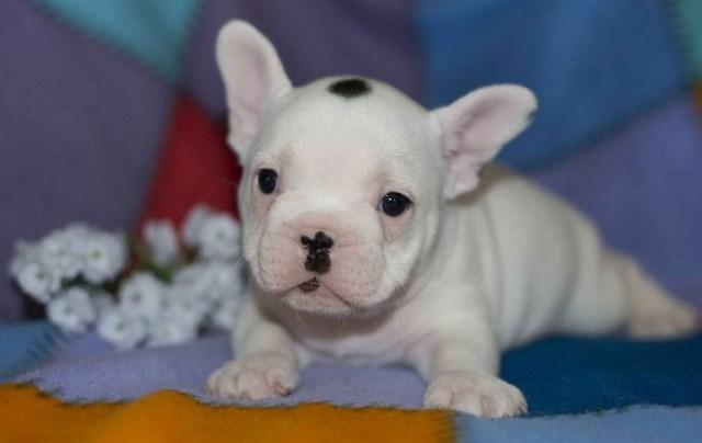 French Bulldog puppy dog for sale in Nigeria